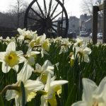 photograph pf pitwheel through daffodils