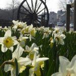photograph pf pitwheel through daffodils