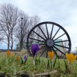 Photograph of crocuses with pit wheel in background