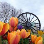 Photograph of pit wheel taken through through tulips