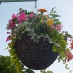 Photograph of Hanging Basket in 2010