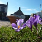 Photo of tulips outside village hall