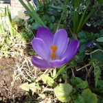 Photograph of beautiful crocus