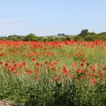 Photo of poppies in a field on the edge of the village