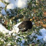 Photograph of blackkbird in tree