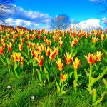 Photograph of village green flowers in spring looking brilliant