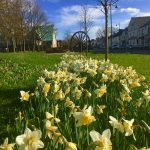 Photograph of village green flowers in spring, they are daffs