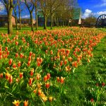 Photograph of village green flowers in spring full of tulips