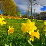 Photograph of village green flowers in spring - daffodil selfie