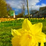 Photograph of village green flowers in spring with daff in forfround