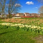 Photograph of tulips and daffodils on mound