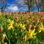 Photograph of tulips in background and daffodils