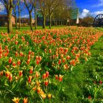 Photograph of lots of tulips and daffodils
