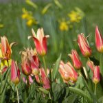 Photograph of village green flowers in spring with background blur
