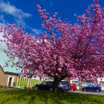 Photograph of cherry blossom and church with cars