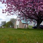 Photograph taken at ground level of cherry blossom and church