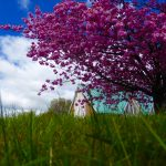 Photographtaken from grass level of cherry blossom and church