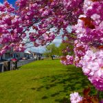 Photograph of very beautiful cherry blossom and front street