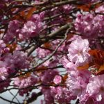 Photograph in close up of cherry blossom