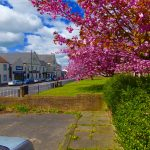 Photograph of cherry blossom and front street from church