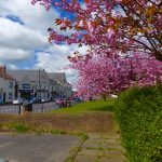 Photograph of cherry blossom and front street
