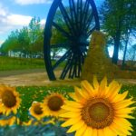 Photograph of sunflowers with the pitwheel behind May 2020