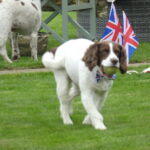 A dog sporting union jack colours