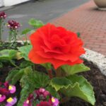 Single red flower in a planter