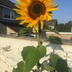 Sunflower with blue skies summer 2020